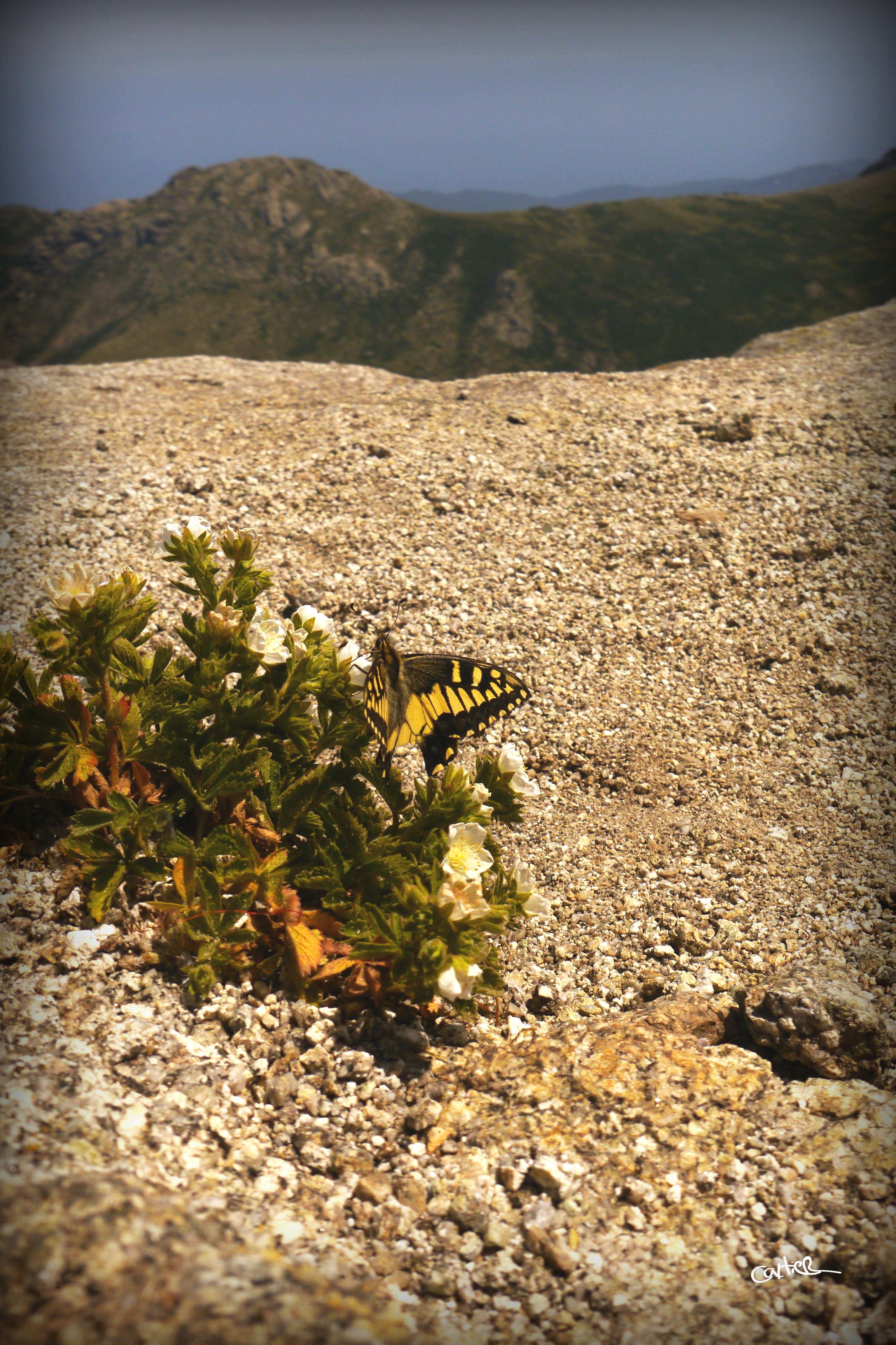 Papillon de l'alcudine